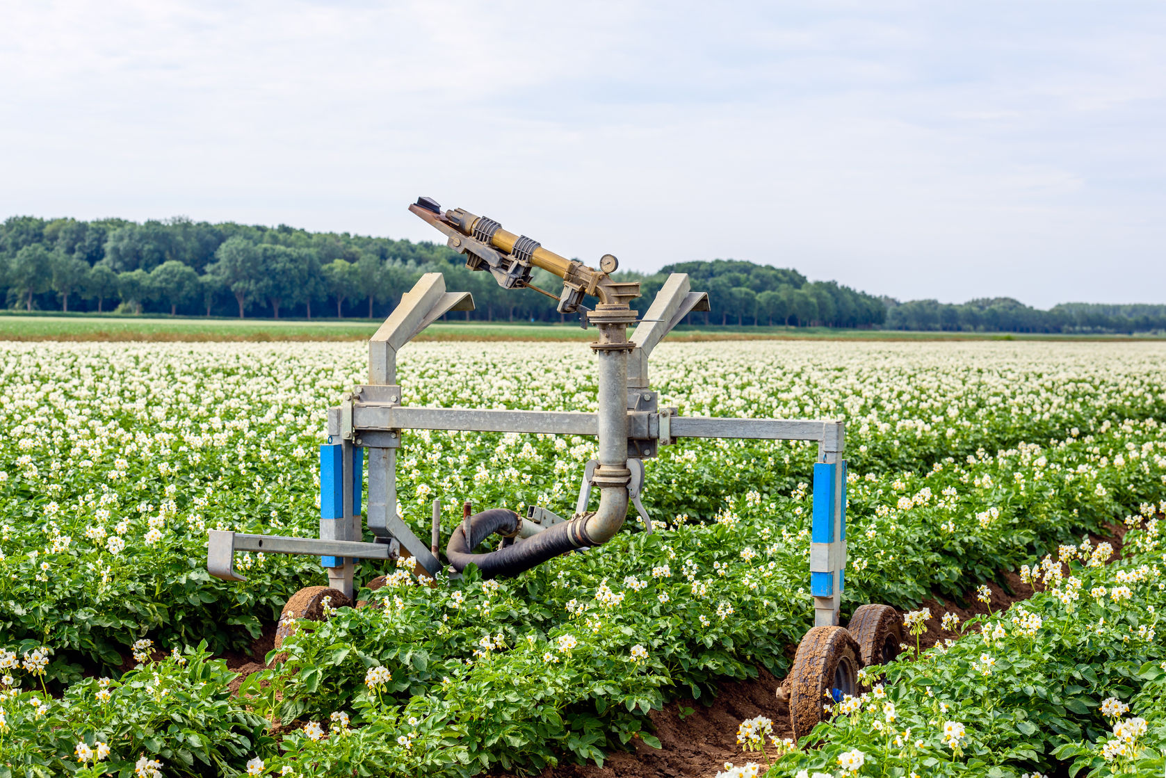 68569125 - rollaway automatic watering gun and a long water hose in a large field with white and yellow flowering potato plants on a warm day in the dutch summer season.